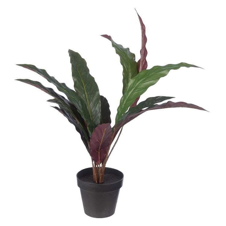 Botanica Calathea Makoyana