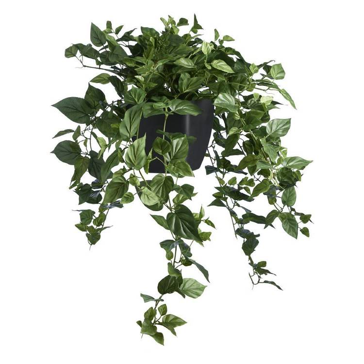 Botanica Devils Ivy in Black Plastic Pot