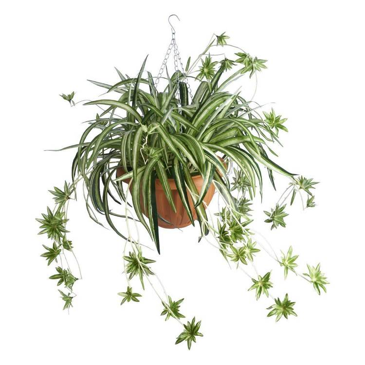 Botanica Spider Fern in Hanging Basket