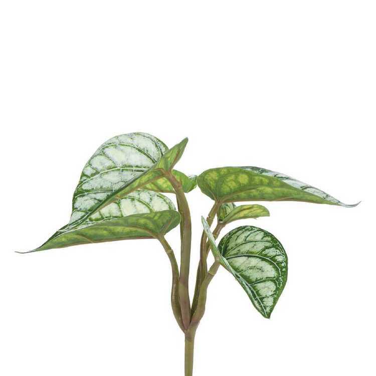 Argreia Nervosa UV Protected Bush