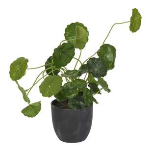 Botanica 28 cm Money Bag Plant