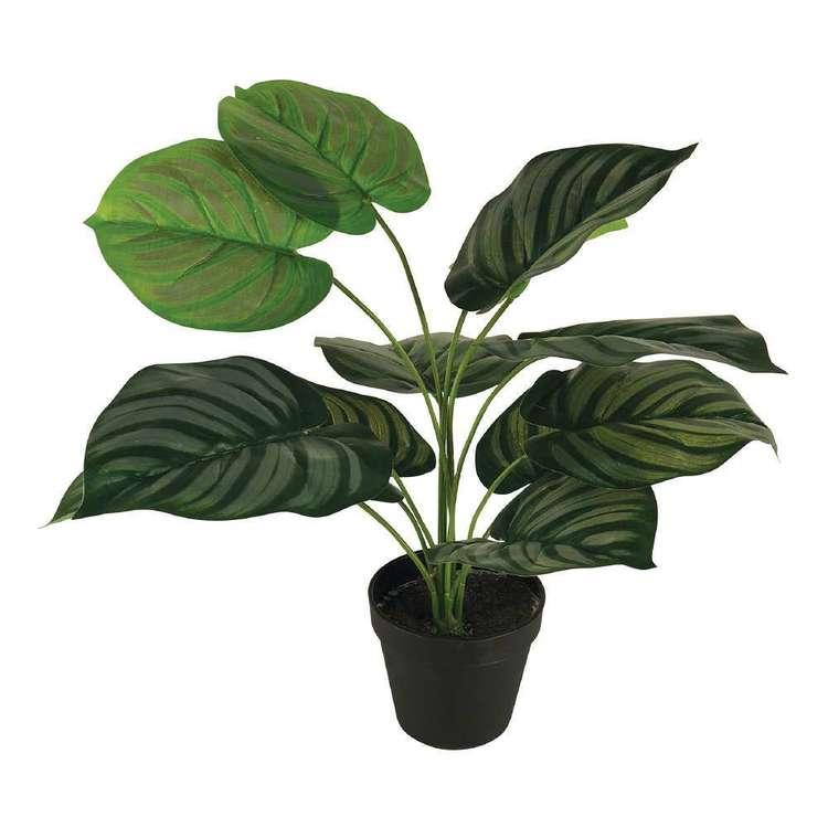 Botanica Calathea Orbifolia Plant