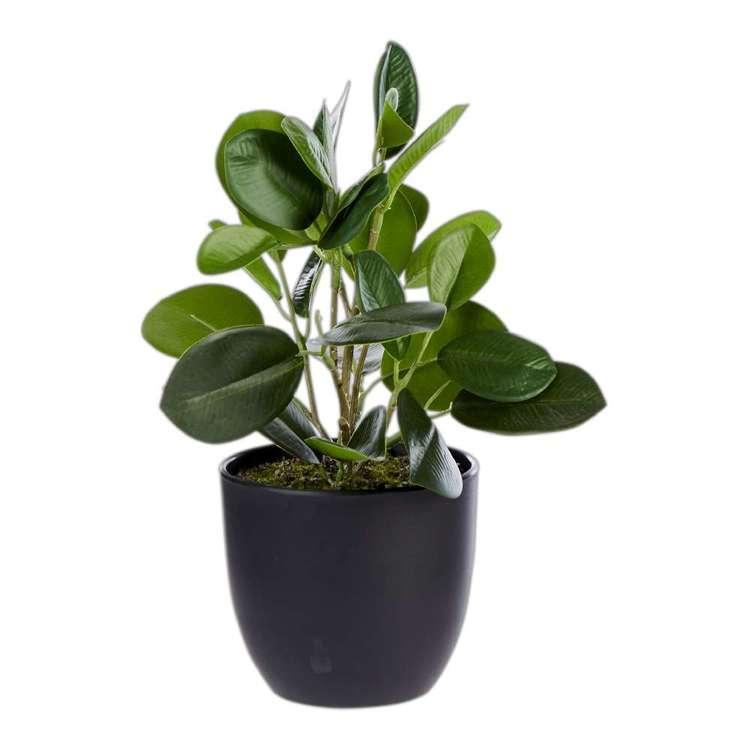 Living Space Round Ficuscunia In Pot
