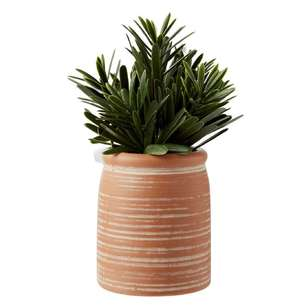 Living Space Urban Sanctuary Podocaprus In Small Terracotta Pot