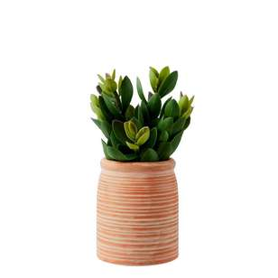 Living Space Urban Sanctuary Succulent In Small Terracotta Pot
