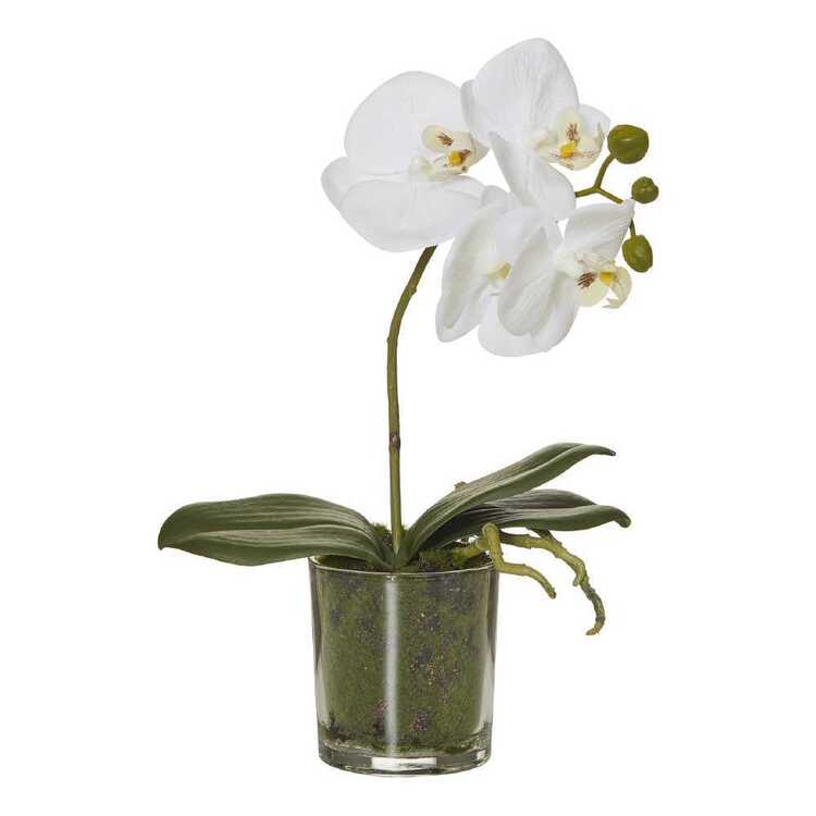 Rogue Butterfly Orchid Potted Plant
