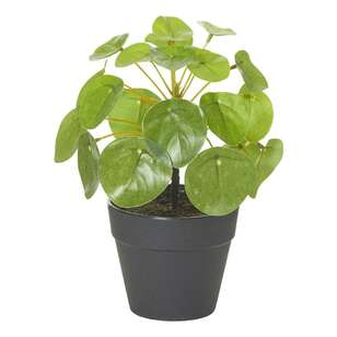 Rogue Small Money Plant Potted Plant