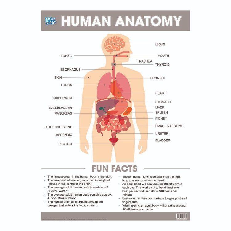 Educational Human Anatomy Poster