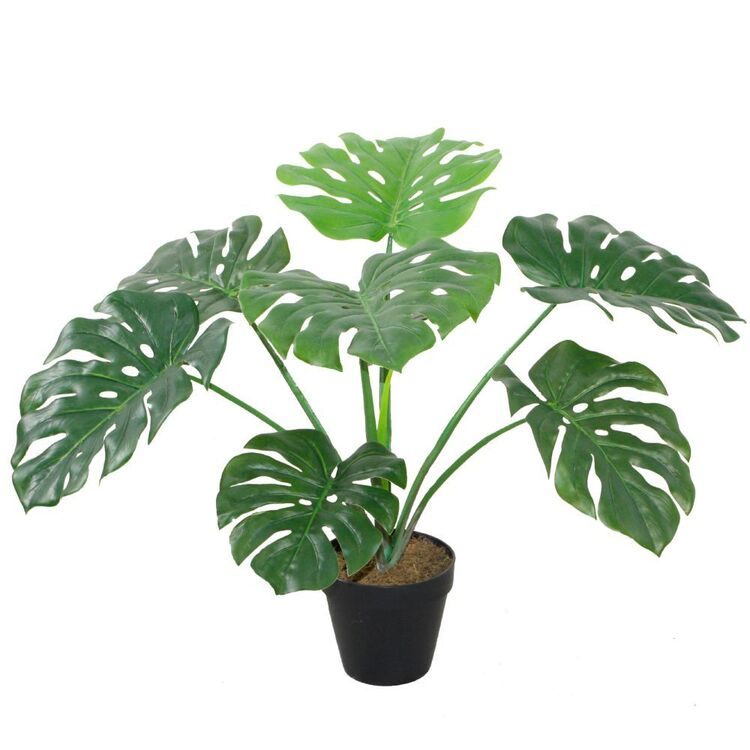 Cooper & Co 60 cm Monstera Potted Plant