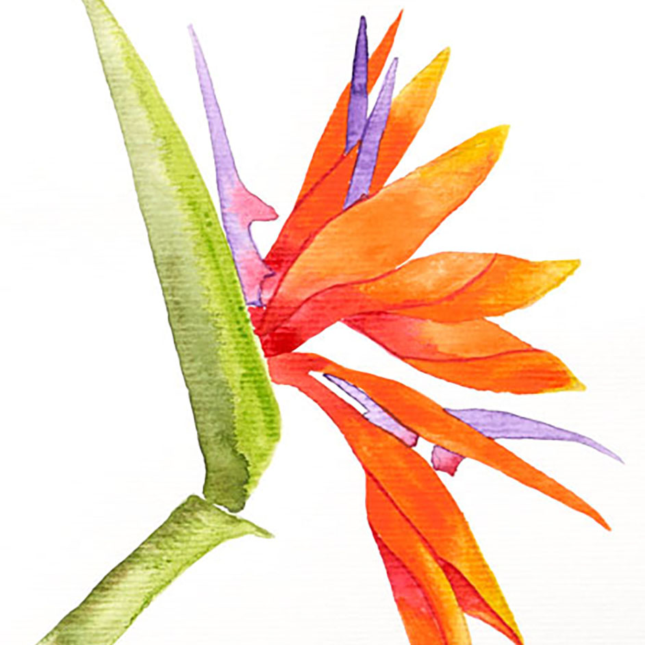 Watercolour Bird Of Paradise Project